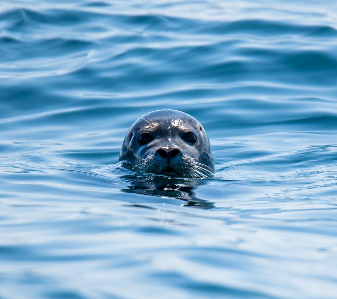 Seal pup in ocean